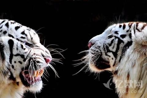 双11狮猫狗大战撕的太狠,陪跑的就别掺和了