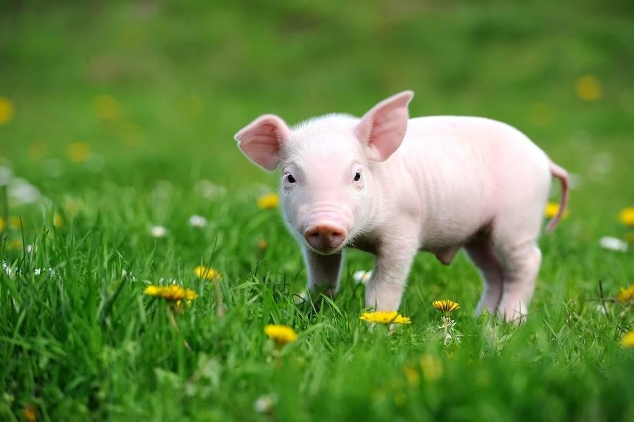 牧原、唐人神等斥巨资扩产,猪企再迎扩张潮