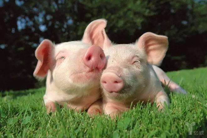 非洲豬瘟下的豬產業鏈再平衡