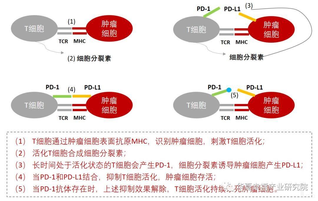 亿欧智库:免疫检测体单抗药物PD-1PD-L1的作用原理