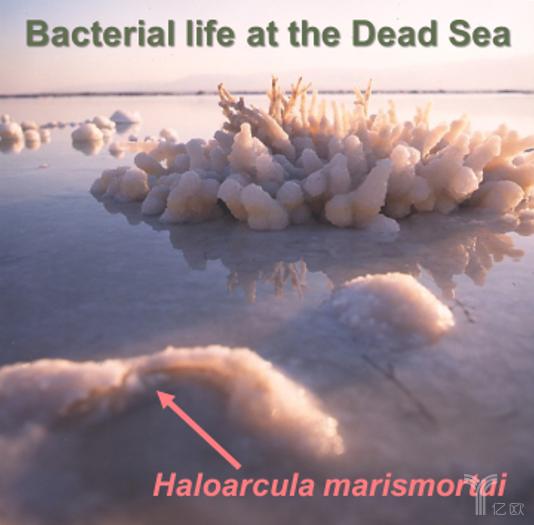盐藻(Haloarcula marismortui)