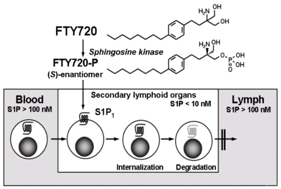 图3  FTY720抑制淋巴细胞外流的示意图.jpeg